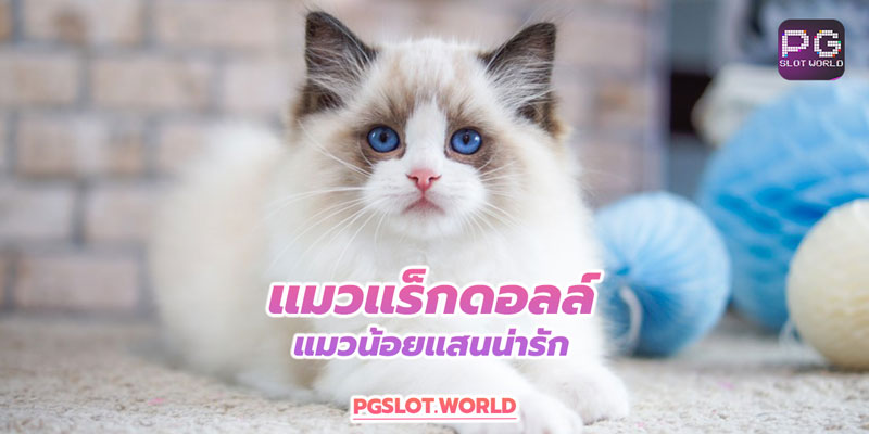 หาเงินซื้อแมวแร็กดอลล์แสนน่ารักด้วยเกมสล็อตออนไลน์